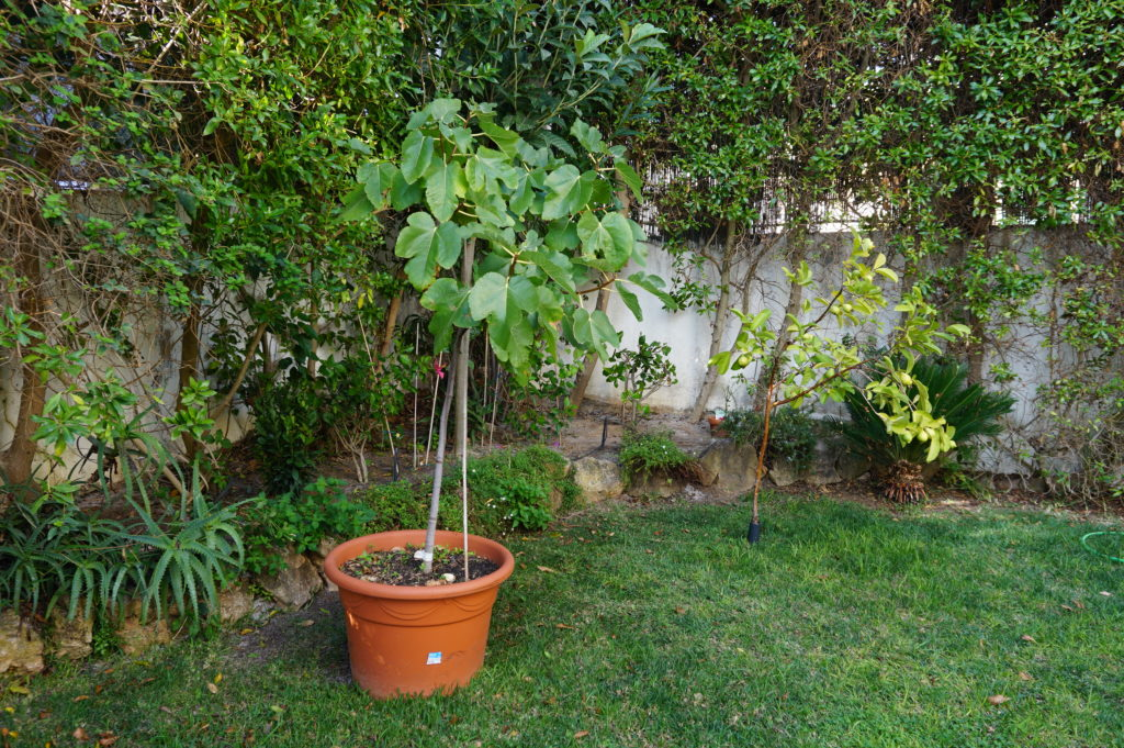 Planted in the side garden for your to enjoy. Help yourself to Physalis, Rose Guavas, Black Figs & many herbs.